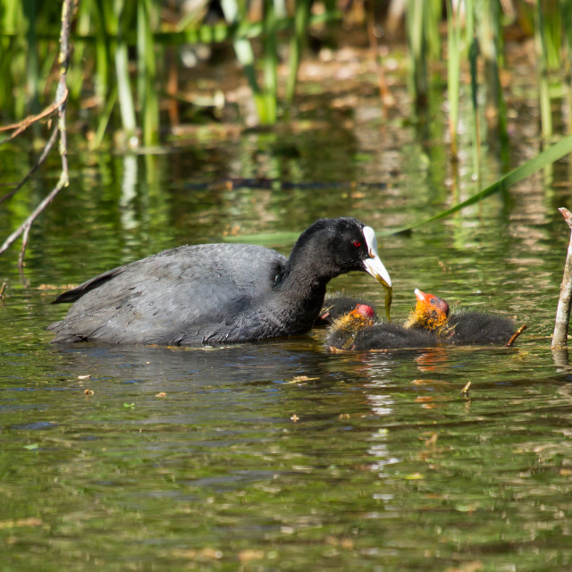 """""""A coot is feeding"""" stock image"""