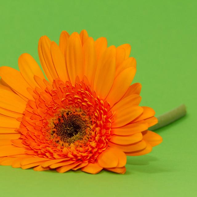 """One single gerbera flower"" stock image"