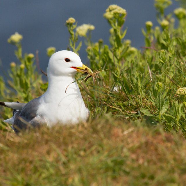 """""""Seagull building a nest"""" stock image"""
