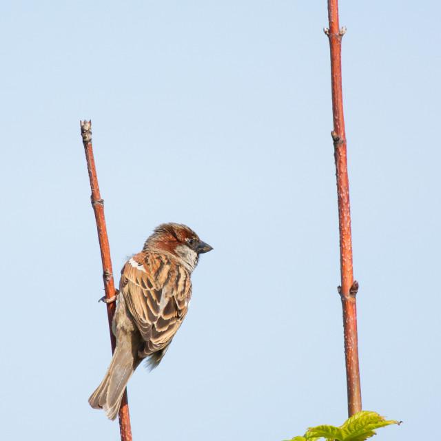 """A sparrow"" stock image"