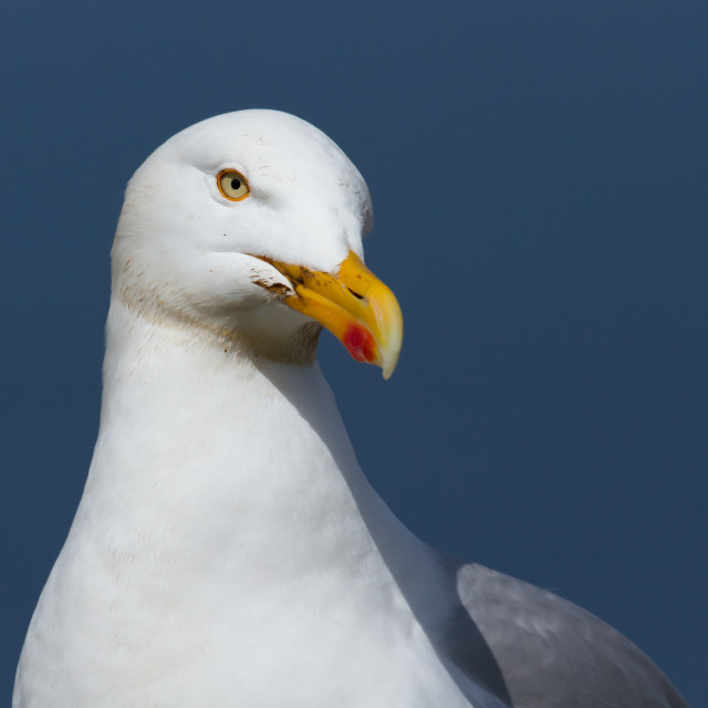 """""""A close-up of a seagull"""" stock image"""
