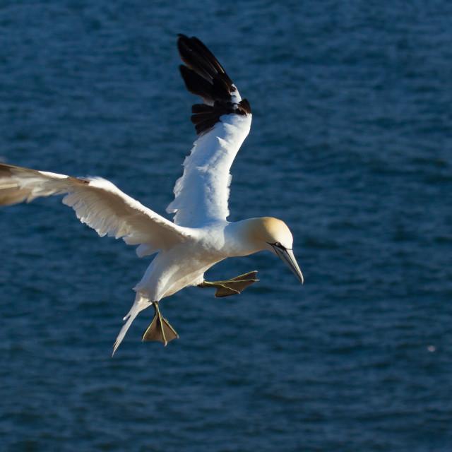 """A flying gannet"" stock image"
