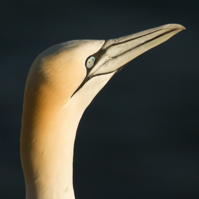 """A gannet"" stock image"