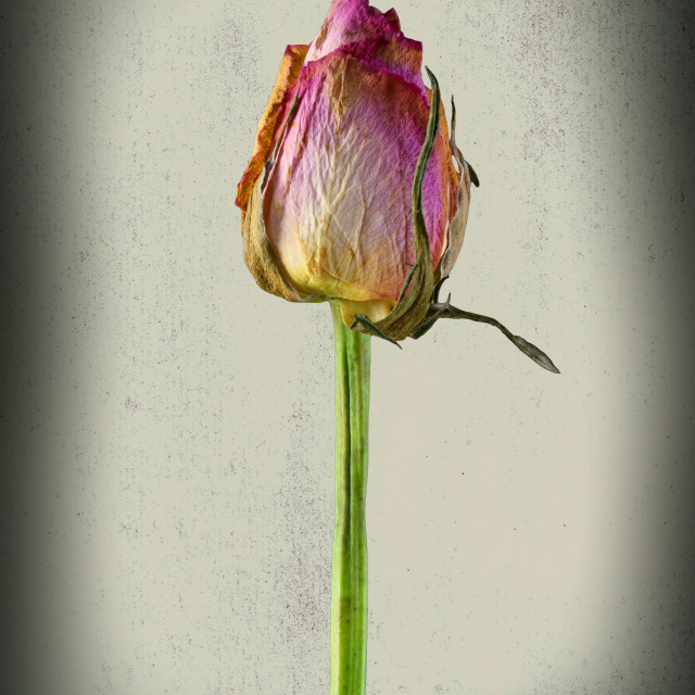 """""""Old Rose on Paper"""" stock image"""