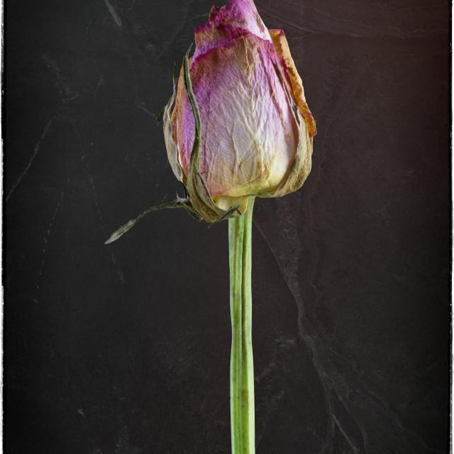 """Old Rose on Slate"" stock image"