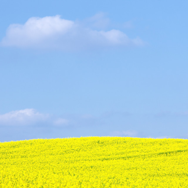"""Czech Republic, Sothern Bohemia - Field of Rape and Blue Sky"" stock image"