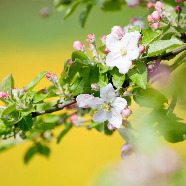 """springtime - closeup of apple tree flowers at blossom"" stock image"