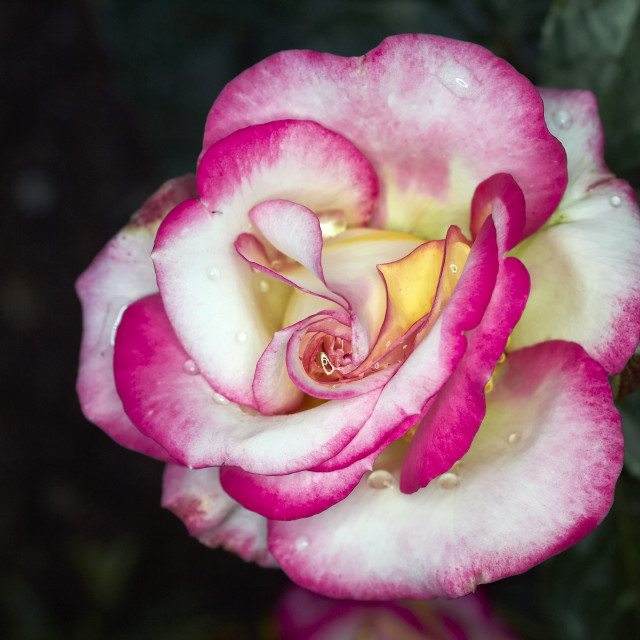 """pale white and pink rose close-up"" stock image"