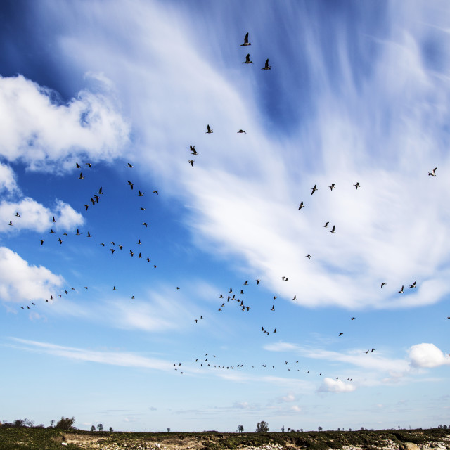 """""""Blue sky with geese"""" stock image"""