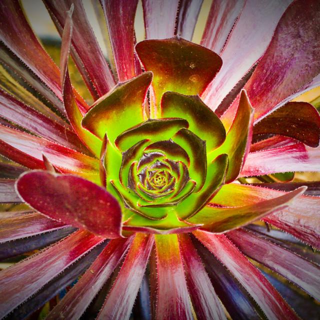 """""""Succulent aeonium"""" stock image"""