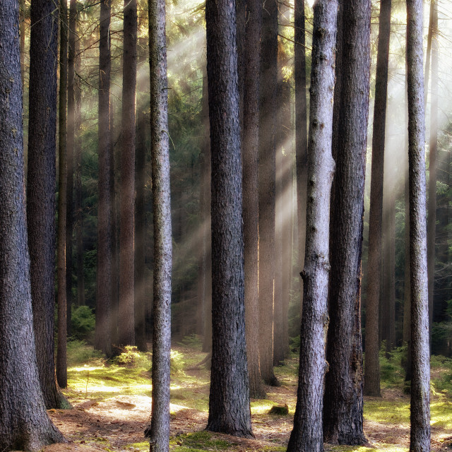 """""""forest scene with sunrays shining through branches"""" stock image"""