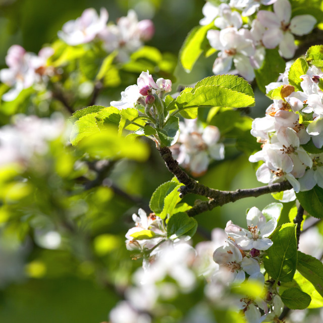 """""""Apple tree in blossom"""" stock image"""