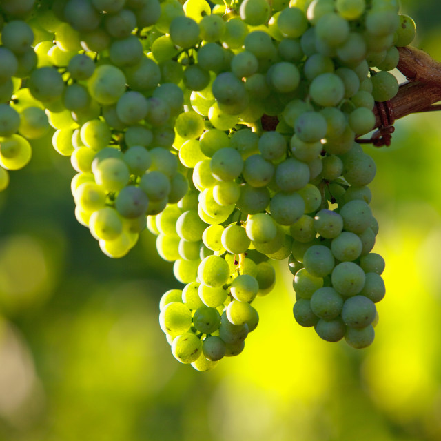 """croatia, istria - closeup of wine grapes at vineyard in summer"" stock image"