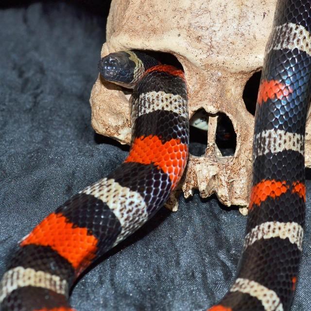 """""""Snake in skull"""" stock image"""