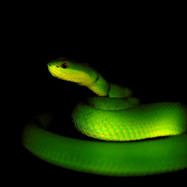 biochemistry snake venom Professor frank markland of the university of southern california discusses his research investigating whether contortrostatin, a protein found in copperhead snake venom, is effective in attacking cancer cells and preventing their spread in breast cancer patients.