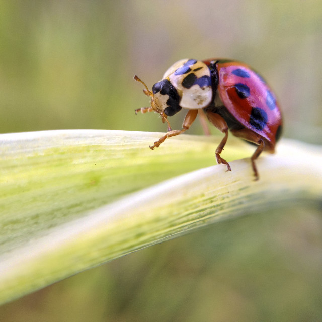 """Ladybird on a green leaf"" stock image"