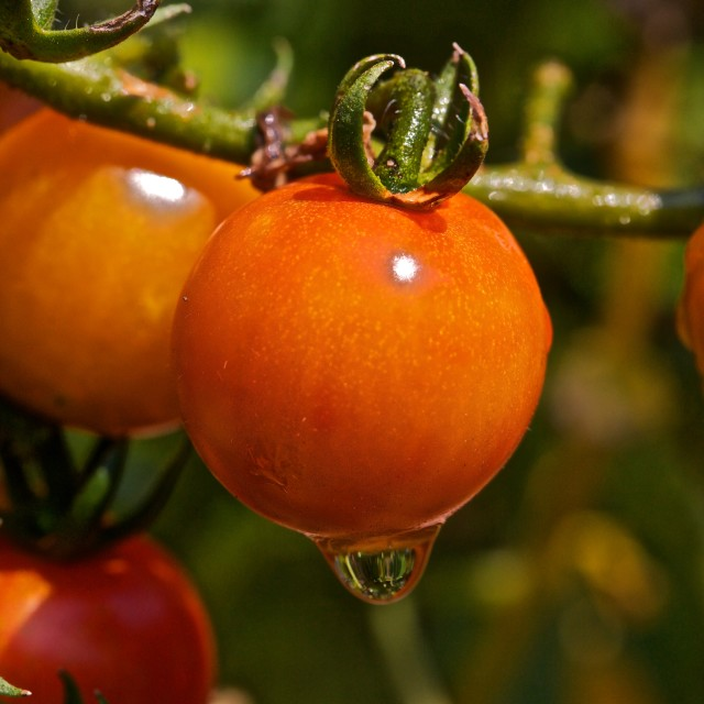 """Rosa tomato's, after Rain"" stock image"