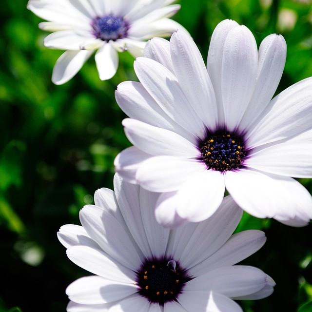 """Summer Osteospermum Patch"" stock image"