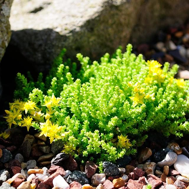 """Small Alpine Rockery Plant"" stock image"