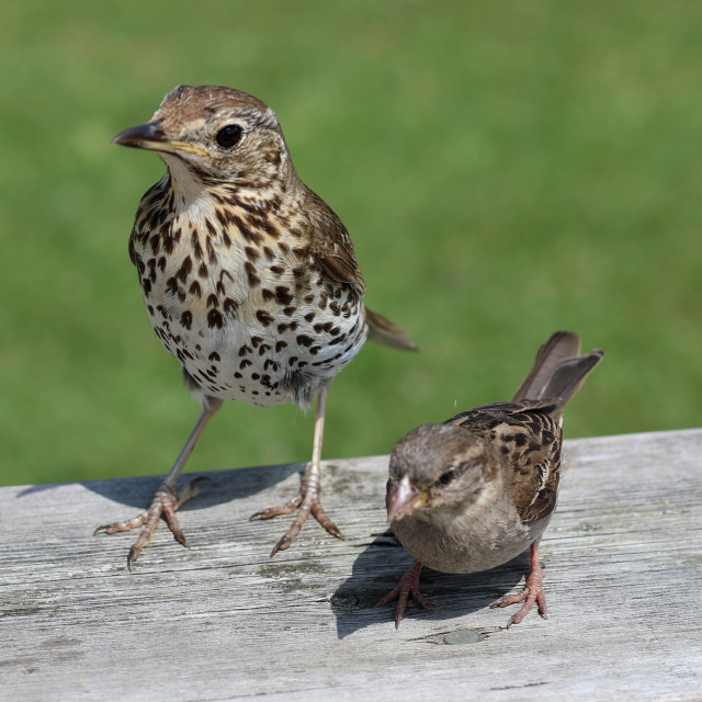 """Song Thrush and Sparrow"" stock image"
