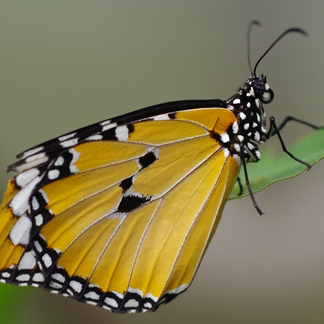 """""""Butterfly – Closeup"""" stock image"""