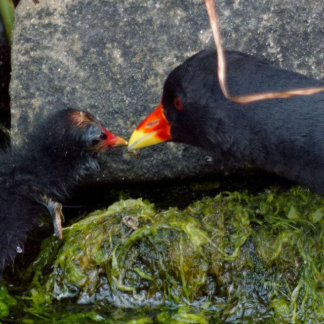 """""""Moorhen with Chick"""" stock image"""
