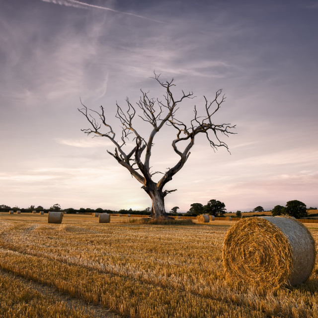 """Straw bales and an old tree"" stock image"