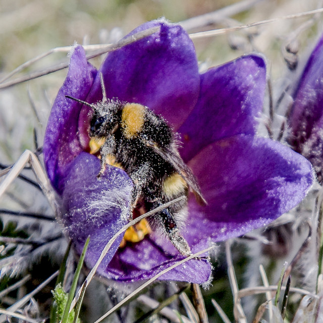 """Bumblebee covered with pollen"" stock image"