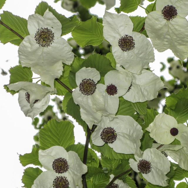 """""""A handkerchief tree"""" stock image"""