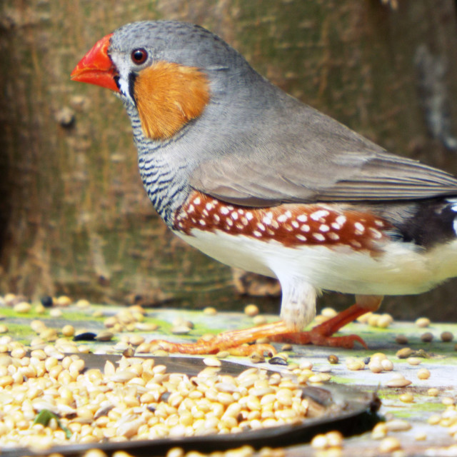 """Zebra Finch"" stock image"