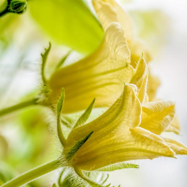 """""""Pumpkin Flower"""" stock image"""