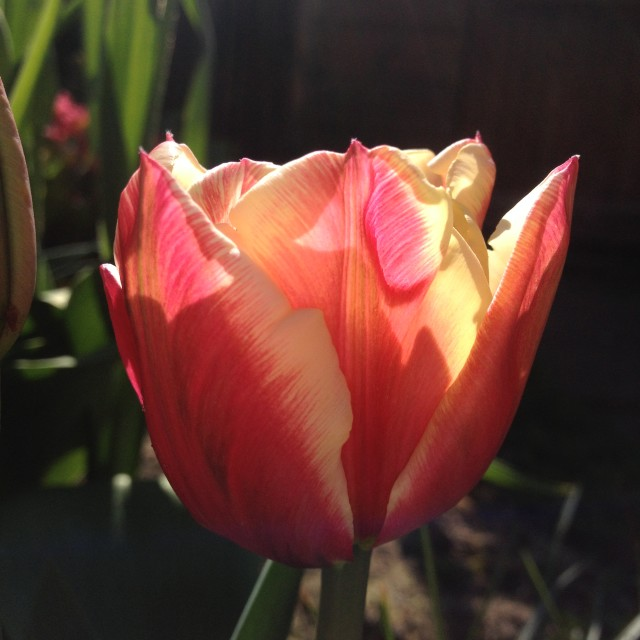 """""""Close up of a tulip"""" stock image"""