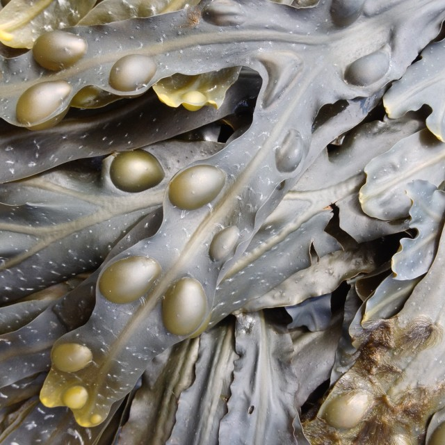 """Close up of seaweed"" stock image"