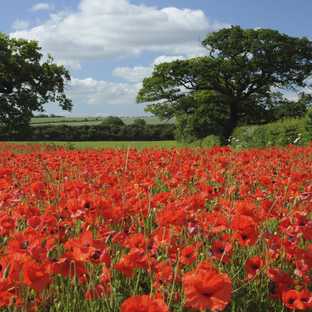 """Poppy Field, Hertfordshire"" stock image"