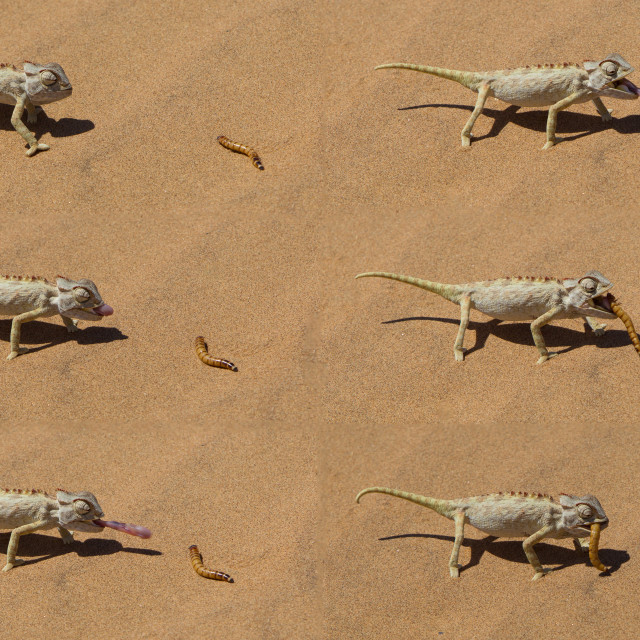 """Namaqua Chameleon hunting in the Namib desert"" stock image"
