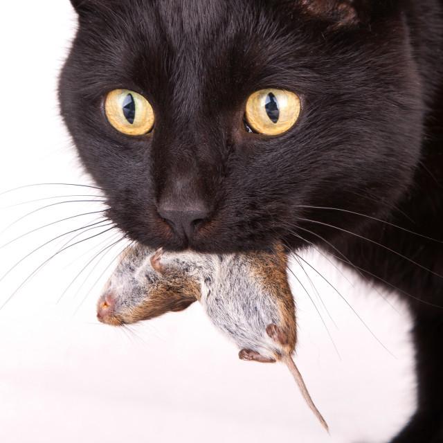 фото черная кошка с мышкой в зубах большинство