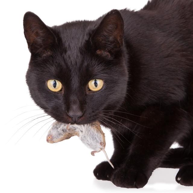 фото черная кошка с мышкой в зубах находится главном месте