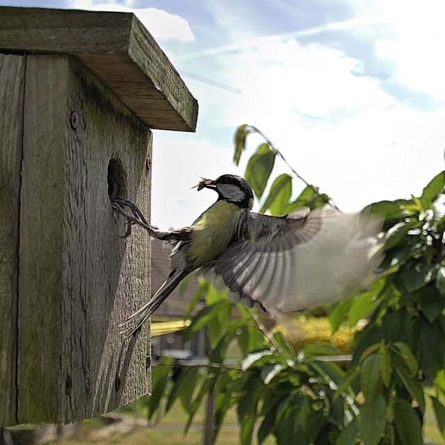 """""""Great tit"""" stock image"""