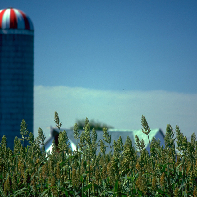 """Sorgo Crop"" stock image"