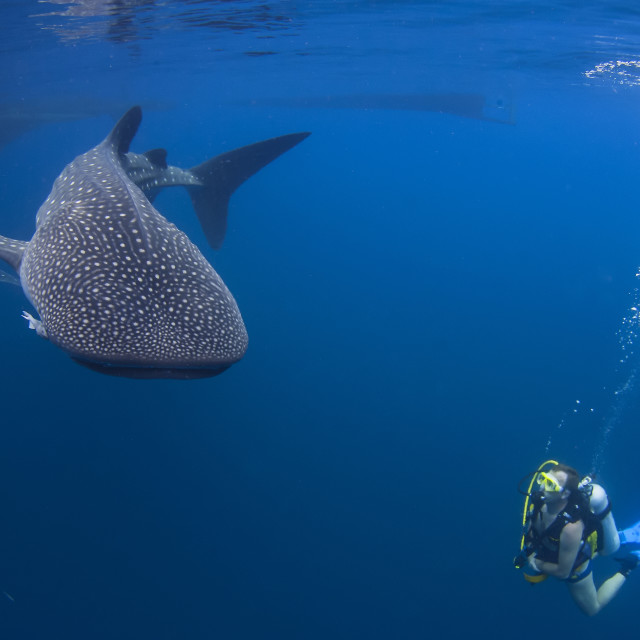 """Two whale sharks cruising in the rich blue of the ocean right next to a diver"" stock image"
