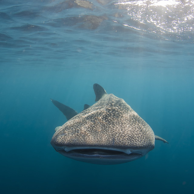 """A whale shark is cruising in the rich blue of the ocean"" stock image"