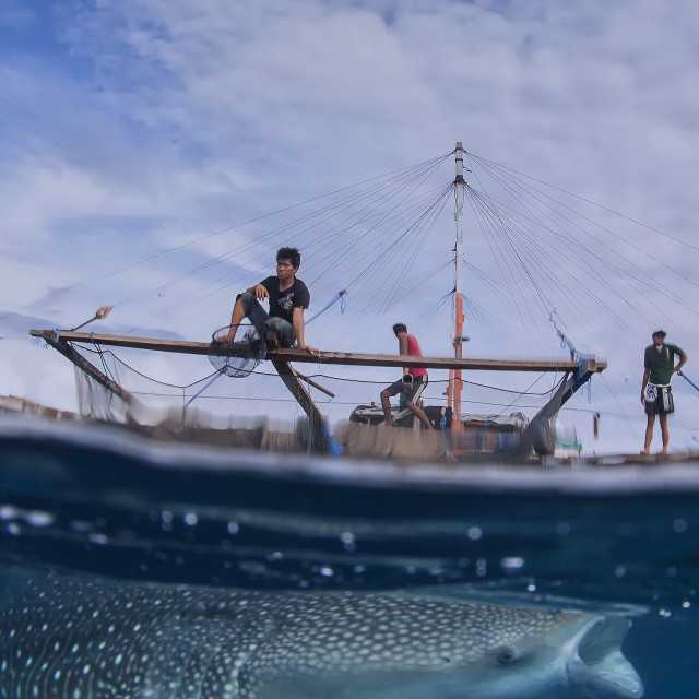 """whale shark feeding on the surface with the fisherman plattform, called Bagan, in the background"" stock image"