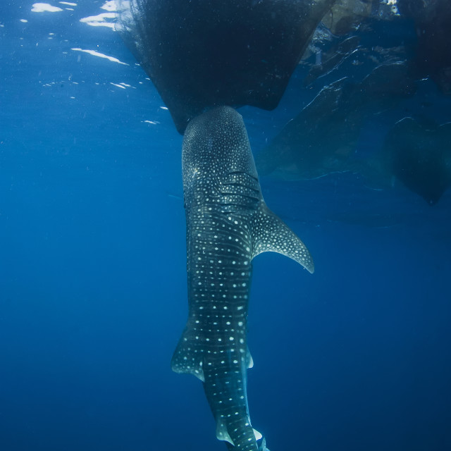 """Whale shark sucks on the fishing nets hanging down from a floating fishing platform called Bagan."" stock image"