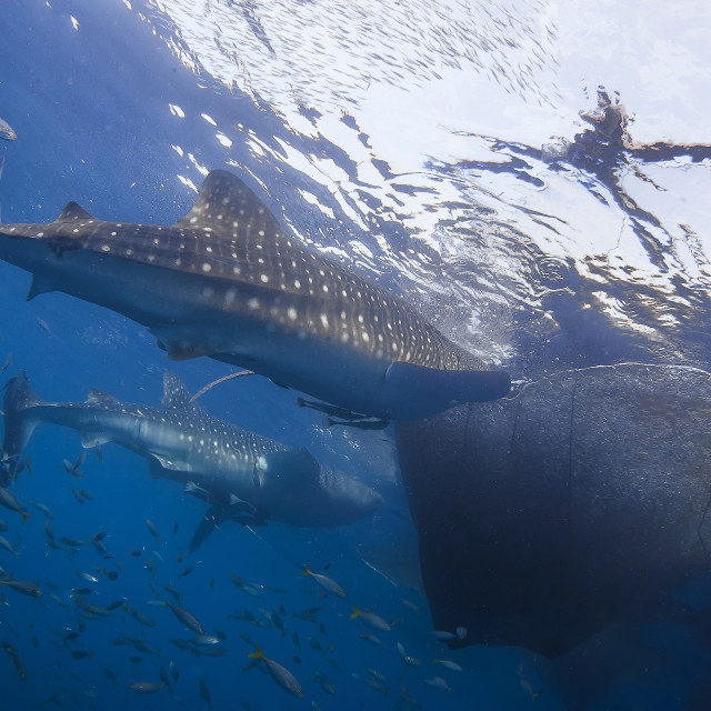 """Two Whale Shark feeding underneath a Fishing Platform called Bagan"" stock image"