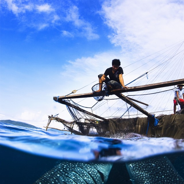 """Local fisherman feeding two whale sharks from the fisherman plattform called Bagan."" stock image"