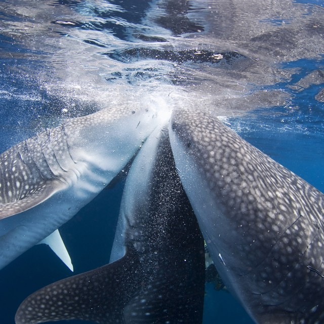 """Three whale sharks feeding on the surface"" stock image"