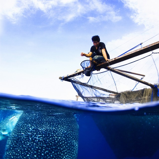 """""""Local fisherman feeding two whale sharks from the fisherman plattform called Bagan."""" stock image"""