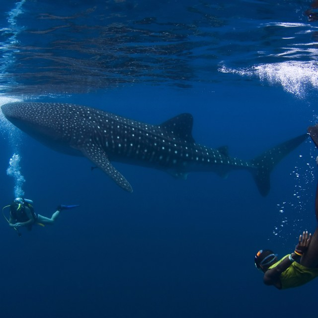 """A whale sharks cruising in the rich blue of the ocean right next to a diver"" stock image"