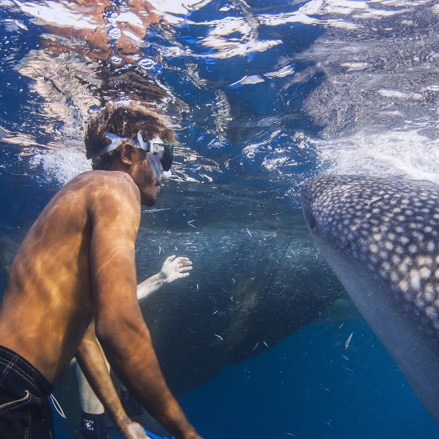 """One whale sharks feeding right next to a diver"" stock image"