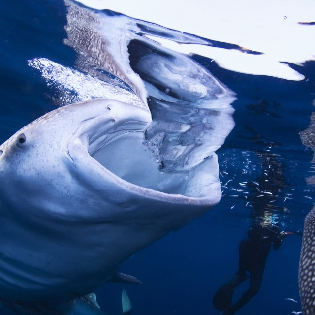 """Two whale sharks feeding on the surface right next to a diver"" stock image"